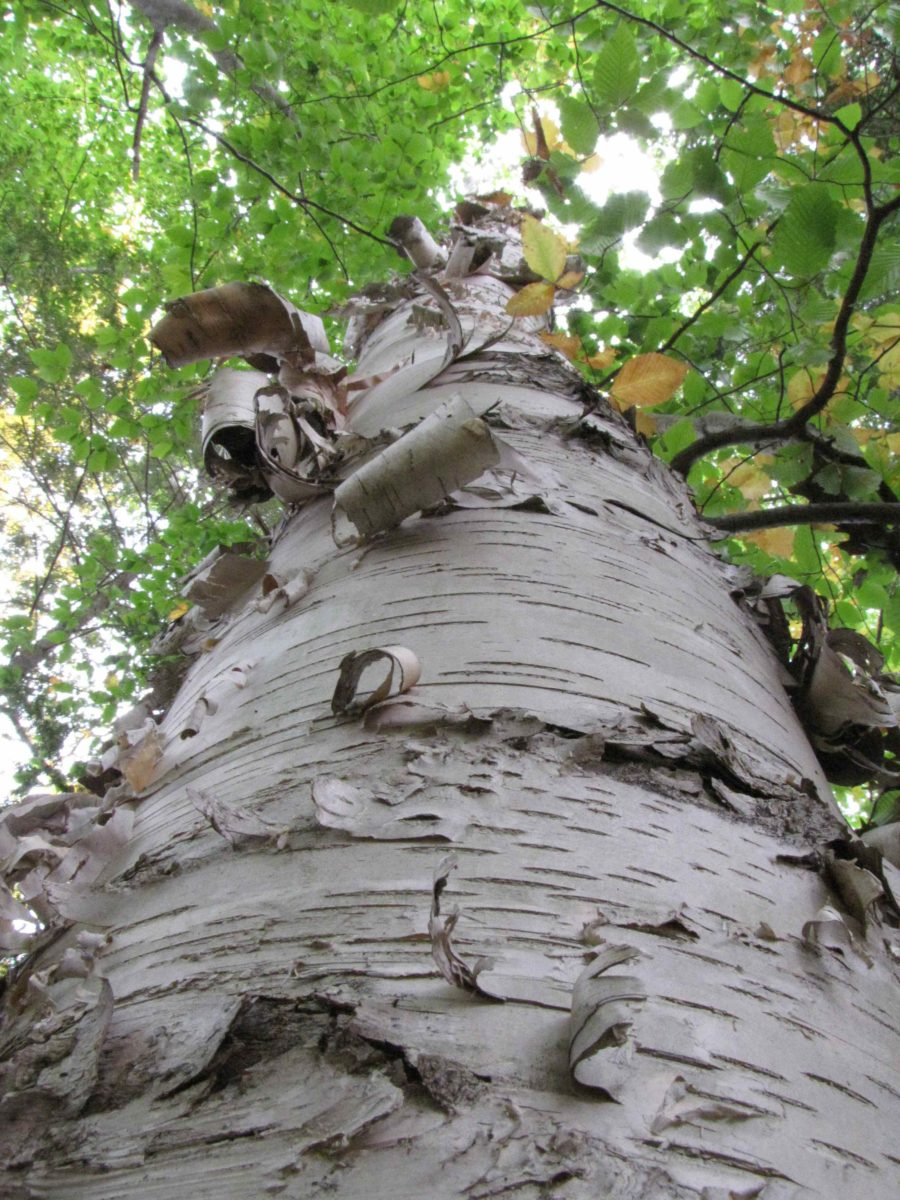 Michael Wojtech_Know Your Trees_paper birch