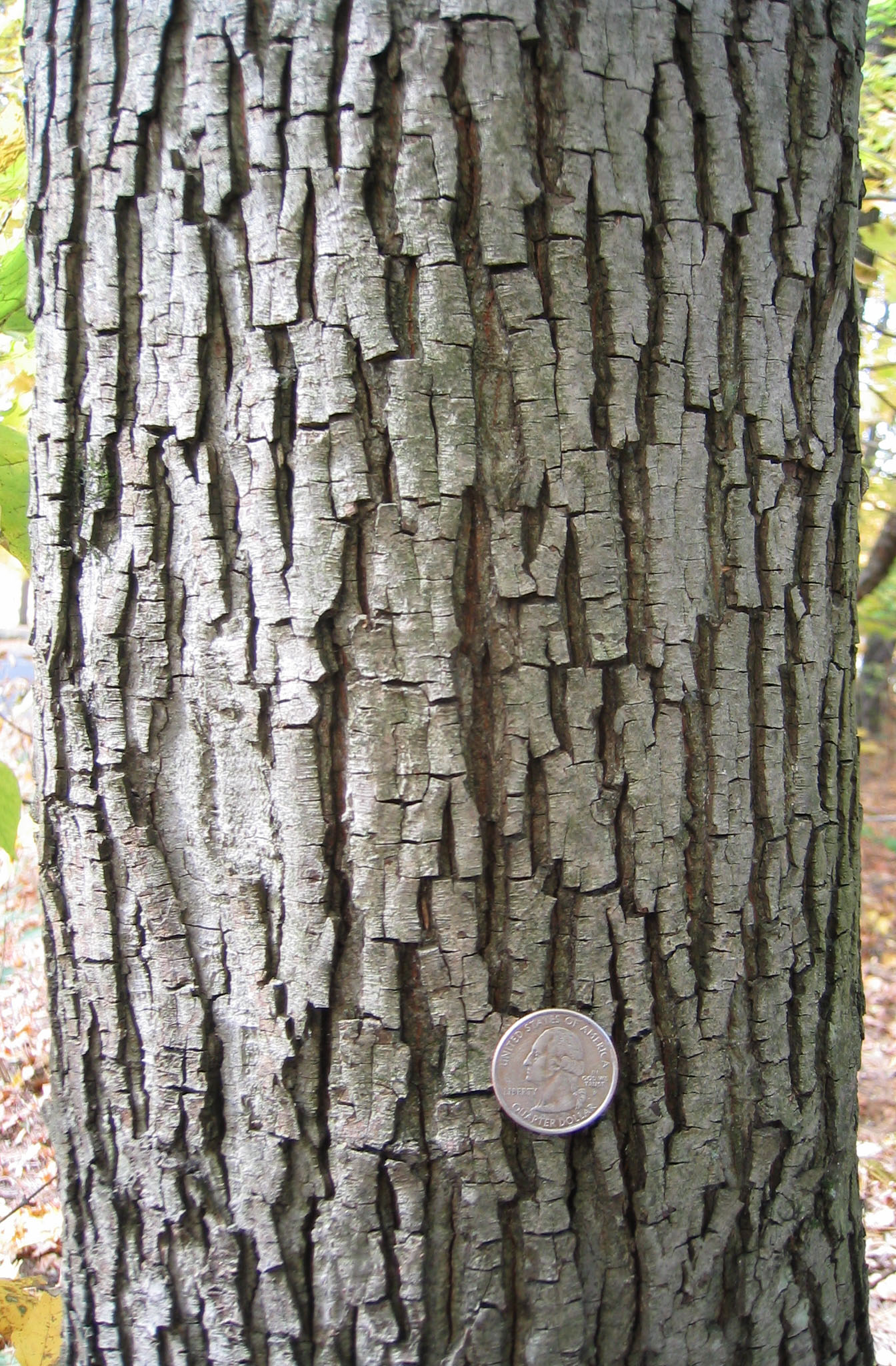 Michael Wojtech_Know Your Trees_pignut hickory