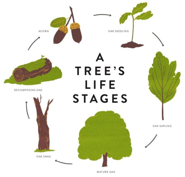 tree life stages_Julia Kuo_from Drawing Trees and Leaves